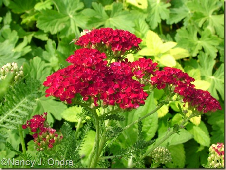 Achillea 'Strawberry Seduction'