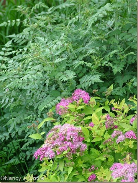Spiraea Dakota Goldcharm ('Mertyann') Rubus thibetanus