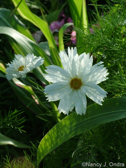 Cosmos 'Psyche White' and Zea mays 'Quadricolor' mid-July 2010