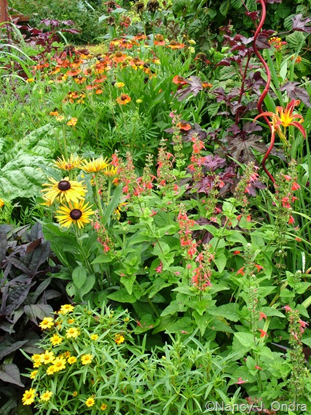 Salvia coccinea 'Lady in Red' with Zinnia angustifolia 'Classic', Rudbeckia hirta 'Chim Chiminee', Helenium 'Coppelia', Hibiscus acetosella 'Red Shield', and Hemerocallis 'Nona's Garnet' mid-July 2010