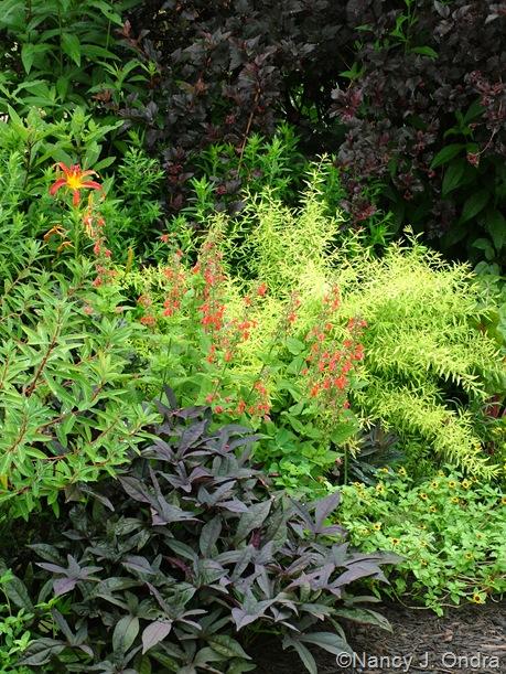 Salvia coccinea 'Lady in Red', Ipomoea batatas 'Sweet Caroline Purple', Euphorbia 'Fireglow', Hemerocallis 'Nona's Garnet', Physocarpus opulifolius 'Monlo' (Diabolo), Spiraea thunbergii 'Ogon' (Mellow Yellow), and Sanvitalia procumbens 'Mandarin Orange' mid-July 2010
