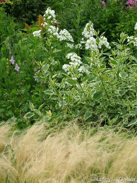 Phlox 'David', Cornus sericea 'Silver and Gold', Stipa tenuissima, Ceratotheca triloba mid-July 2010