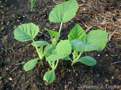 'Yugoslavian Finger Fruit' squash seedlings late May