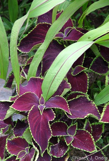 Solenostemon (Coleus) 'Chocolate Mint' and Pennisetum glaucum 'Jester' mid-July 2010