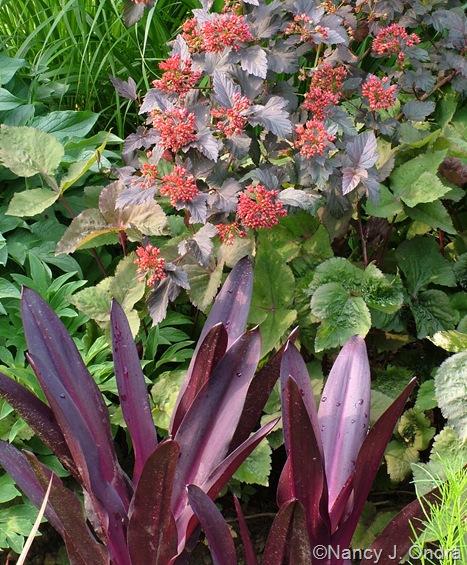 Eucomis 'Oakhurst' with Physocarpus opulifolius 'Monlo' (Diabolo) mid-June 10