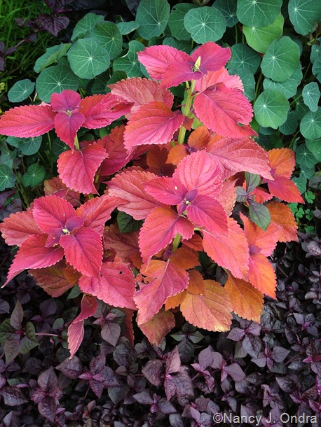 Solenostemon (coleus) 'Sedona' with Iresine 'Purple Lady' and Tropaeolum majus 'Empress of India'