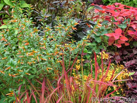 Cuphea platycentra, Imperata cylindrica 'Rubra', and Coleus 'Sedona' Aug 14 10