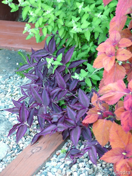 Tradescantia zebrina (solid purple) with Coleus 'Sedona' and Caryopteris 'Jason'