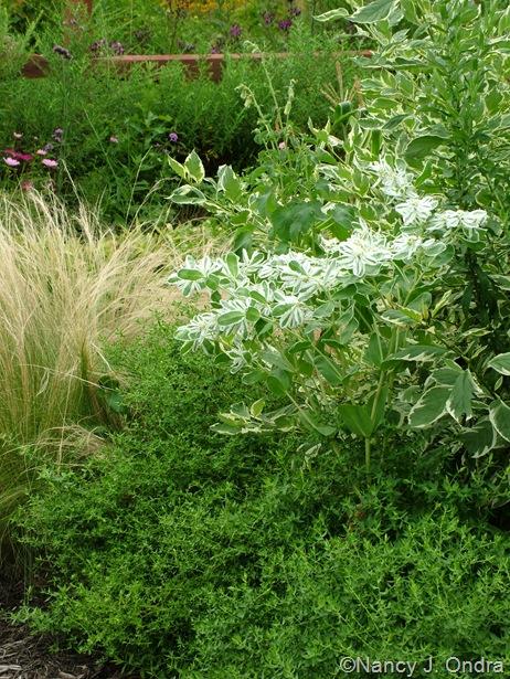 Euphorbia marginata, Cornus sericea 'Silver and Gold', and Symphiotrichum oblongifolium Aug 14 10