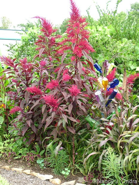 Amaranthus 'Hopi Red Dye' Aug 14 10