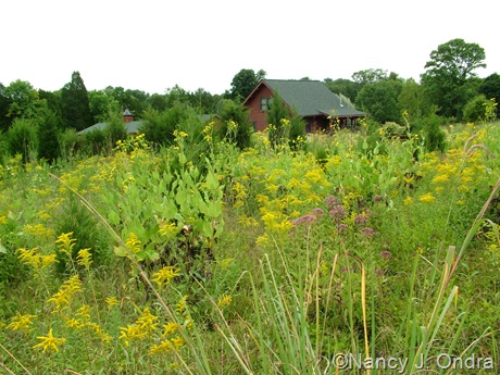 Hayefield meadow with Silphium perfoliatum, Solidago, and Eupatoriadelphus purpureus Aug 14 10