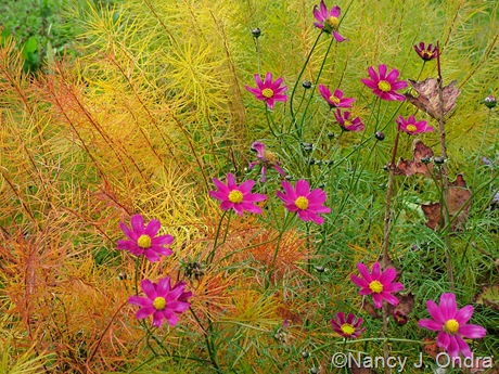 Cosmos bipinnatus and Amsonia hubrichtii