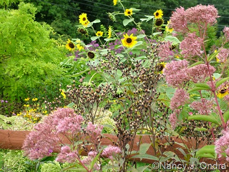 Helianthus annuus, Eupatorium maculatum, and Vernonia seedheads