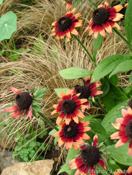 Rudbeckia 'Cherry Brandy' with Carex flagellifera 'Bronzilla' Aug 14 10