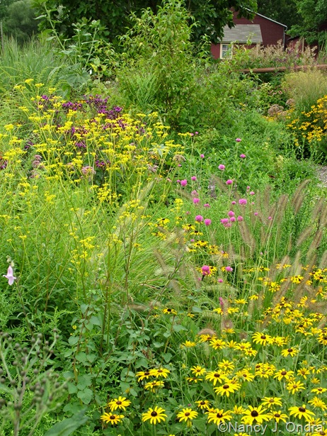 Patrinia scabiosifolia, Gomphrena 'Fireworks', Pennisetum alopecuroides 'Cassian', and Rudbeckia fulgida Aug 14 10