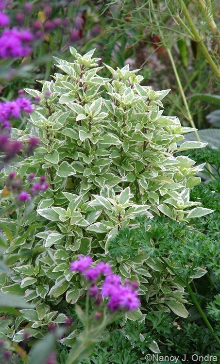 Ocimum x citriodorum (basil) 'Pesto Perpetuo' Sept 14 10