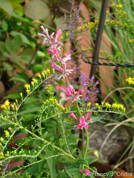 Agastache 'Red Fortune' with Solidago rugosa 'Fireworks' Sept 14 10