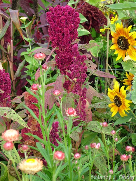 "Amaranthus 'Elephant's Head' with Helianthus annuus 'Sunspots' and Bracteantha bracteata ""Apricot/Peach Mix"" Sept 14 10"