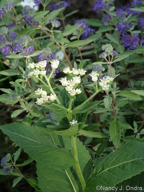 Parthenium integrifolium Sept 14 10