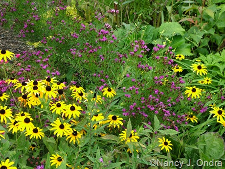 Vernonia lettermannii 'Iron Butterfly' with Rudbeckia fulgida Sept 14 10