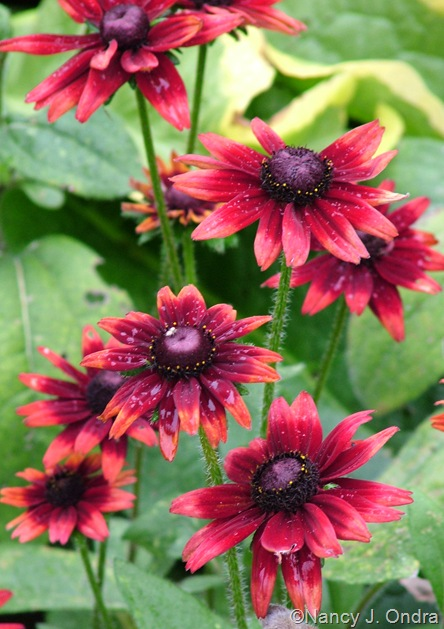 Rudbeckia 'Cherry Brandy' Sept 14 10