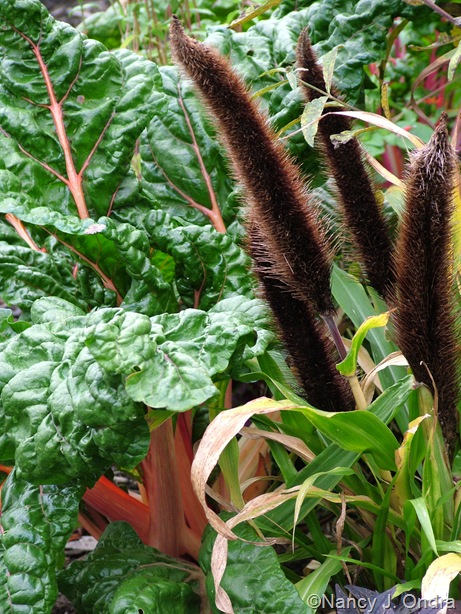 Pennisetum glaucum 'Jade Princess' with 'Bright Lights' Swiss chard Sept 14 10