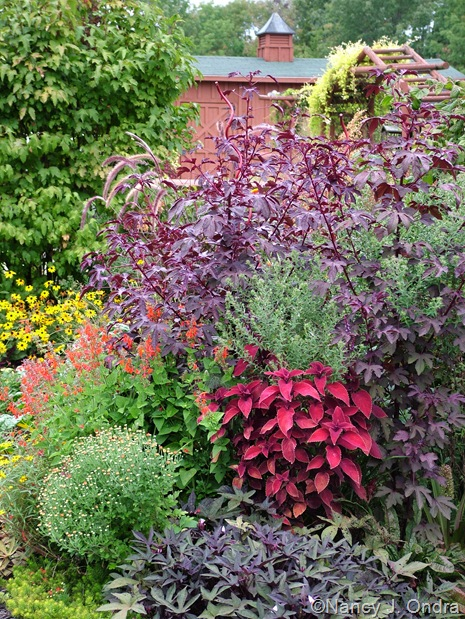 Coleus 'Oxblood', Ipomoea batatas 'Sweet Caroline Purple', Chrysanthemum, Salvia coccinea 'Lady in Red', and Hibiscus acetosella 'Red Shield' Sept 14 10