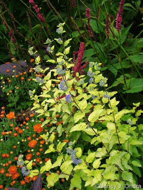 Caryopteris incana seedling with Persicaria amplexicaulis 'Taurus' and orange chrysanthemum Sept 14 10