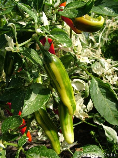 Capsicum annuum (pepper) 'Fish' Sept 14 10