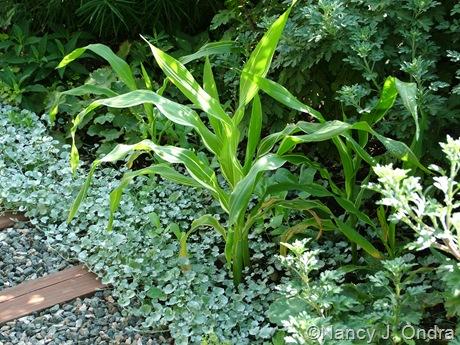 Zea mays (corn) 'Tiger Cub' with Dichondra argentea 'Silver Falls' Sept 14 10