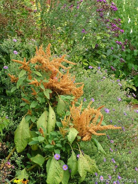 Amaranthus 'Autumn Touch' with Symphiotrichum oblongifolius Sept 11 10
