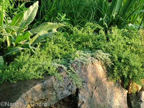 Symphiotrichum ericoides 'Snow Flurry' aster Aug 31 10