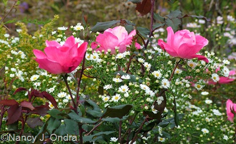 Symphiotrichum ericoides and Pink Knock Out rose Oct 6 09