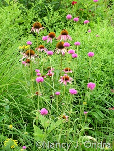 Gomphrena 'Fireworks' with Echinacea purpurea July 21 10