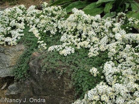 Symphiotrichum ericoides 'Snow Flurry' aster Sept 26 10