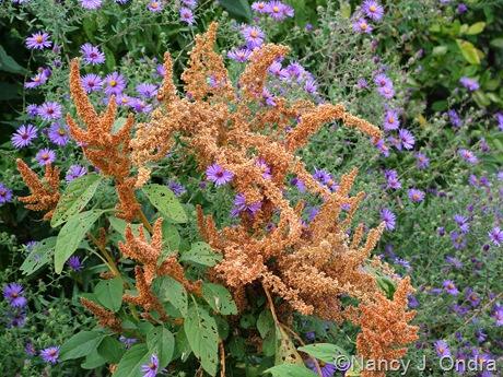 Amaranthus 'Autumn Touch' with Symphiotrichum oblongifolius Sept 29 10