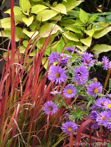 Symphyotrichum novae-angliae 'Hella Lacy' with Imperata cylindrica 'Rubra' and Solenostemon 'Floricolor Gold Ring' Oct 13 10