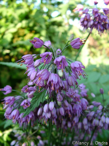 Allium thunbergii 'Ozawa' Oct 14 10