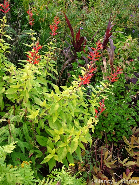Salvia elegans 'Golden Delicious' and Pennisetum 'Burgundy Giant' Oct 13 10