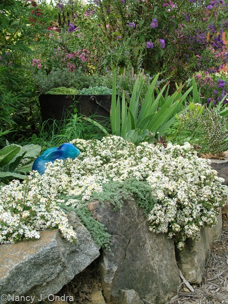 Symphiotrichum ericoides 'Snow Flurry' aster Sept 27
