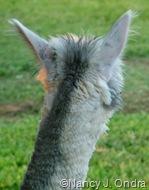 Daniel ears