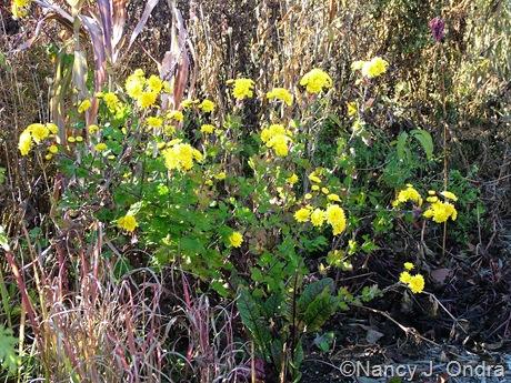 Chrysanthemum Yellow Button