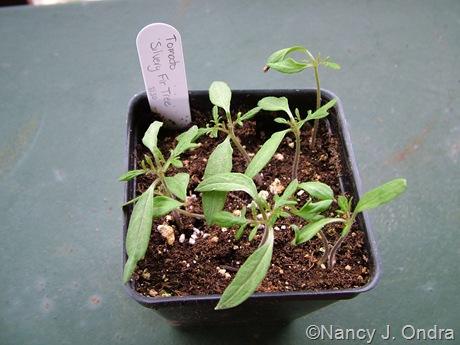Tomato 'Silvery Fir Tree' seedlings