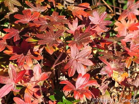 Geranium sanguineum 'New Hampshire Purple' fall color