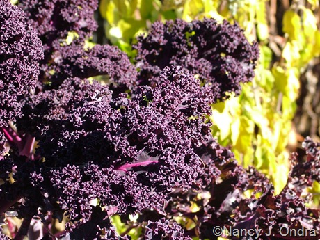 Kale 'Redbor' fall color