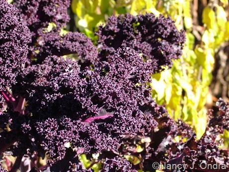 Kale 'Redbor' fall color
