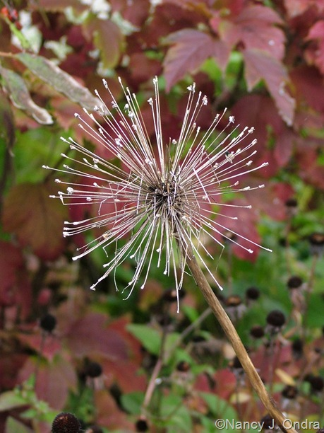 Allium 'Mount Everest' seedhead