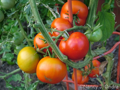 Tomato 'Variegated' fruits