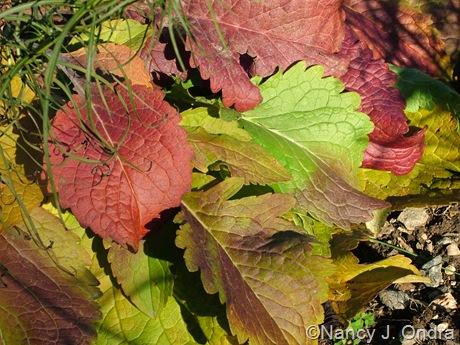 Patrinia scabiosifolia fall color