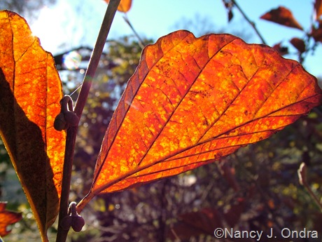 Hamamelis vernalis 'Washington Park' fall color